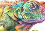 Iguana color drawing by Dino Tomic