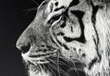 Inverted Tiger drawing by Dino Tomic