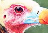 Condor drawing by Morgan Davidson
